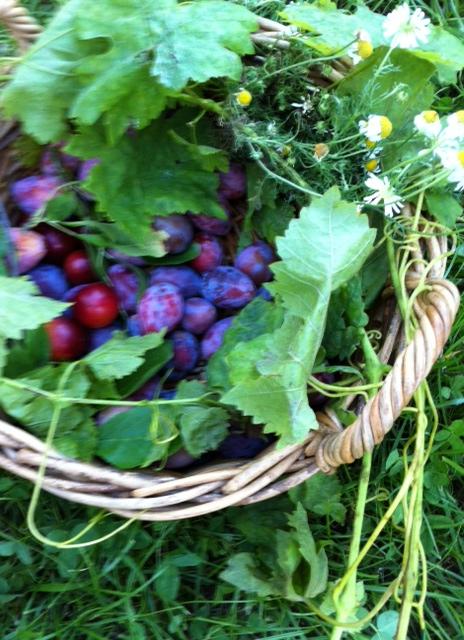 La cueillette des prunes. Harvesting plums.